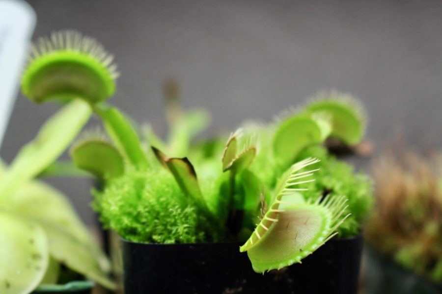 One of Mr. Considine's famous carnivorous plants is up for auction this Casino Night.