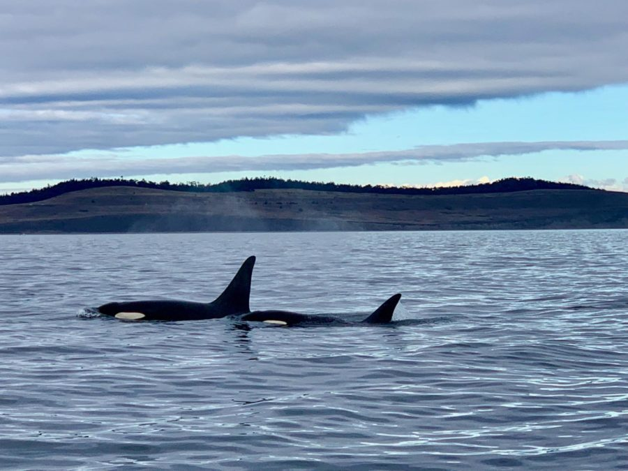Southern+Resident+Orcas+