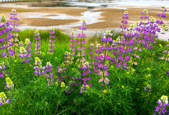 Large-leaved lupine is easily recognizable by its lance-like flowerheads.